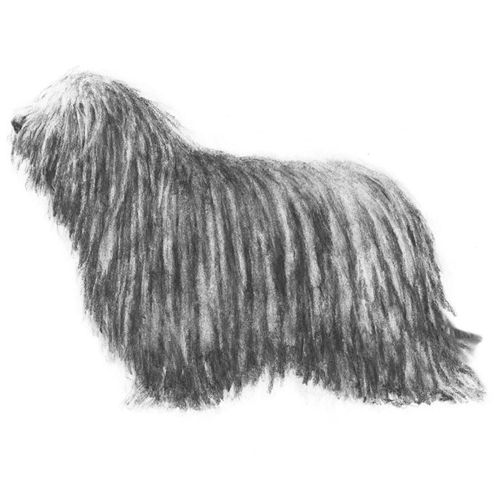 Bergamasco Sheepdog Breed Standard Illustration