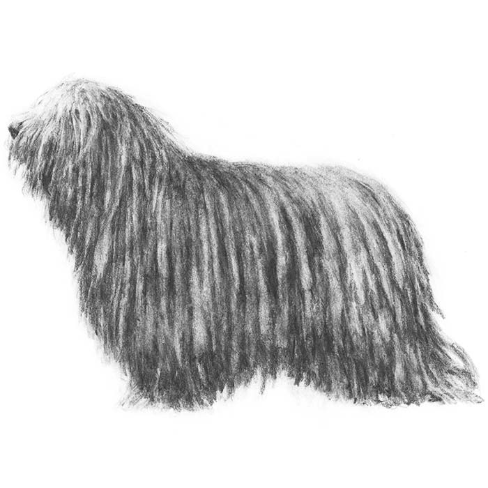 Bergamasco Breed Standard Illustration