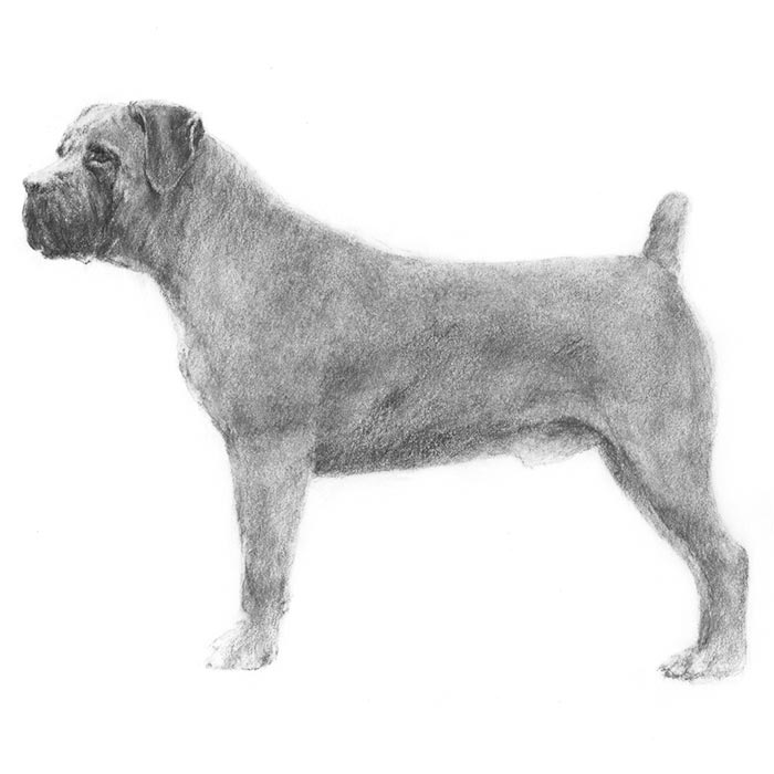 Boerboel Breed Standard Illustration