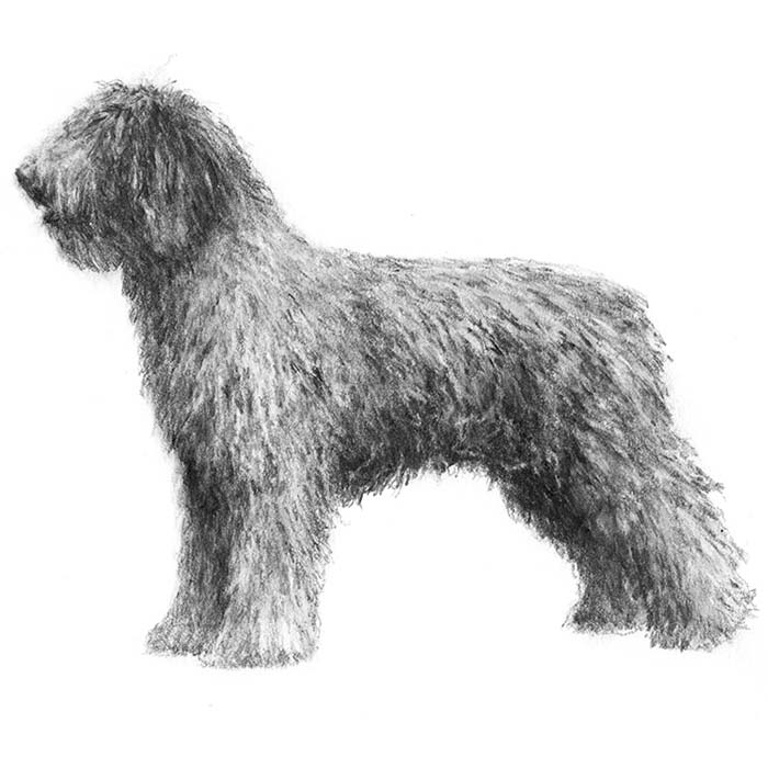 Spanish Water Dog Breed Standard Illustration