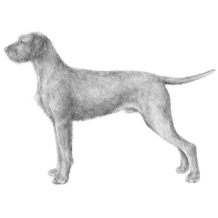 Wirehaired Vizsla Breed Standard Illustration