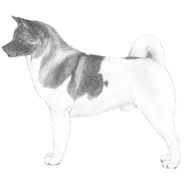 Akita Breed Standard Illustration