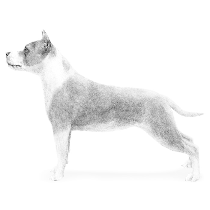 American Staffordshire Terrier Breed Standard Illustration