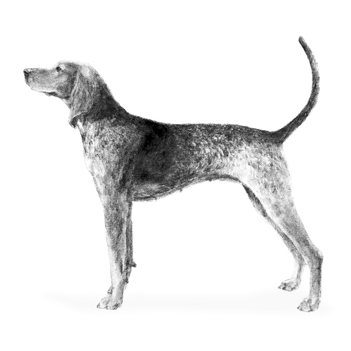 American English Coonhound Breed Standard Illustration