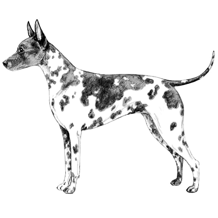 American Hairless Terrier Breed Standard Illustration