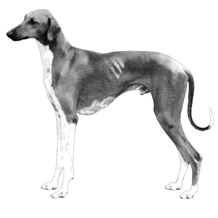 Azawakh Breed Standard Illustration
