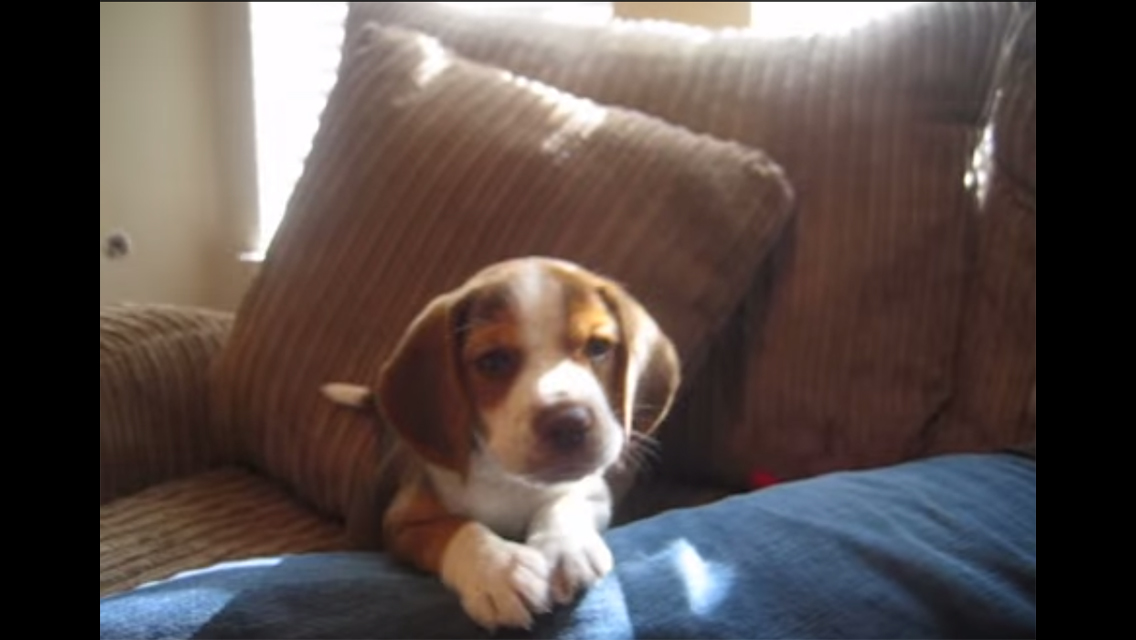 See A Beagle Puppy Learn To Howl American Kennel Club