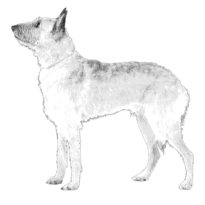 Belgian Laekenois Breed Standard Illustration