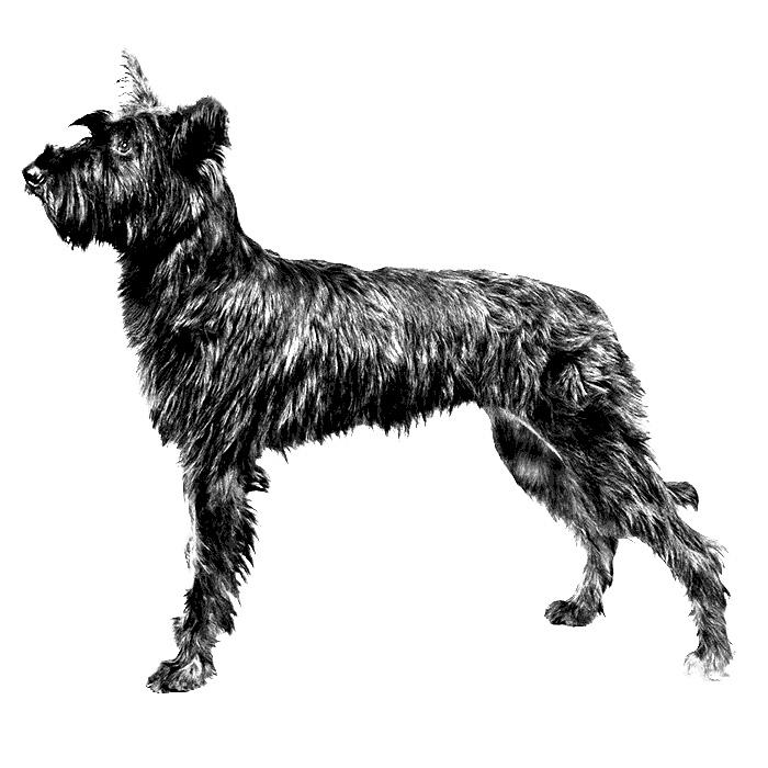 Berger Picard Breed Standard Illustration