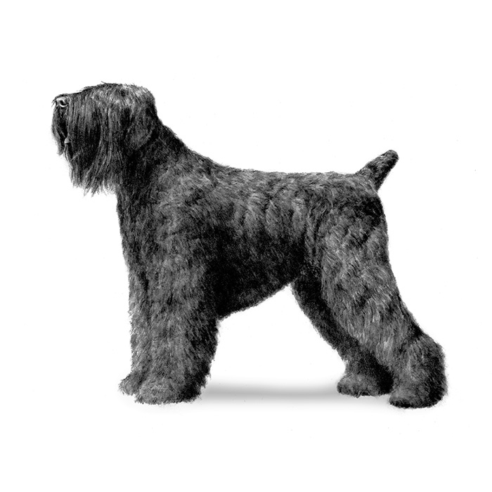 Black Russian Terrier Breed Standard Illustration
