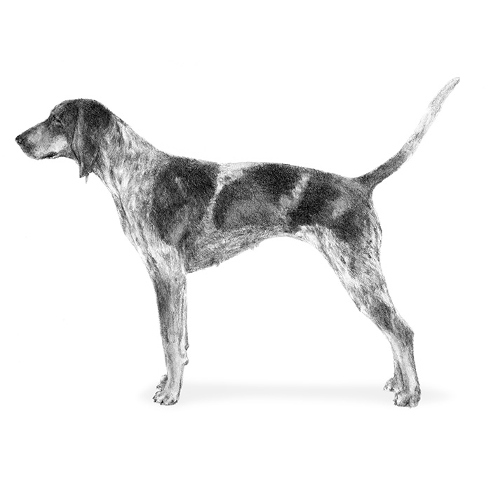 Bluetick Coonhound Breed Standard Illustration