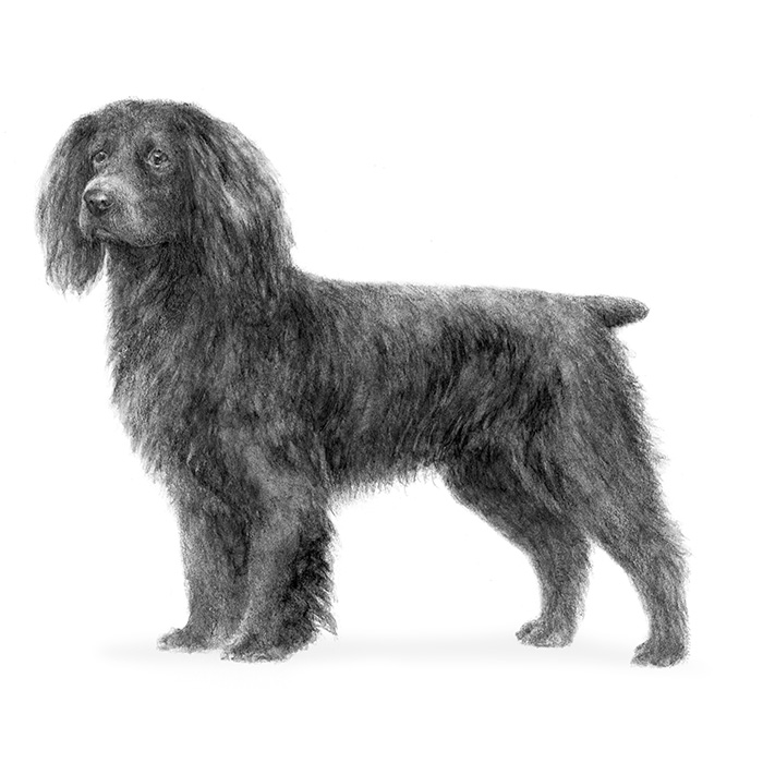 Boykin Spaniel Breed Standard Illustration
