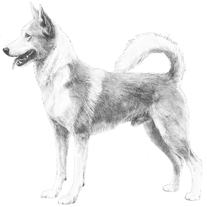 Canaan Dog Breed Standard Illustration
