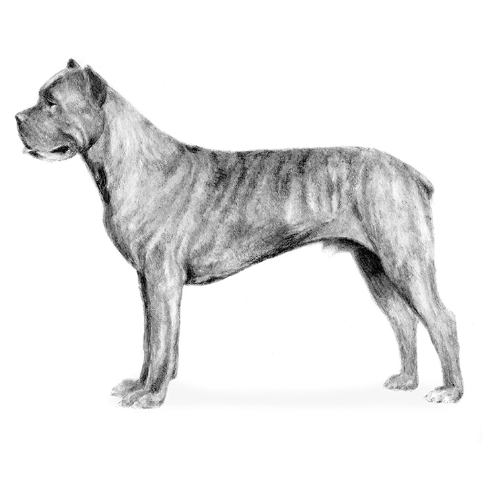 Cane Corso Breed Standard Illustration