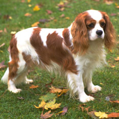 Best Dog Breeds for Apartments Dwellers - American Kennel Club