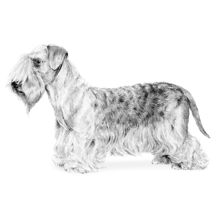 Cesky Terrier Breed Standard Illustration