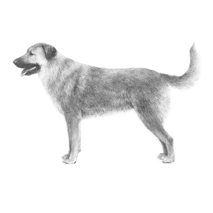 Chinook Breed Standard Illustration