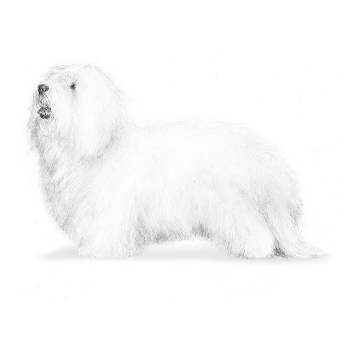 Coton de Tulear Breed Standard Illustration