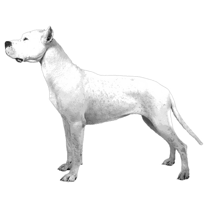 Dogo Argentino Breed Standard Illustration