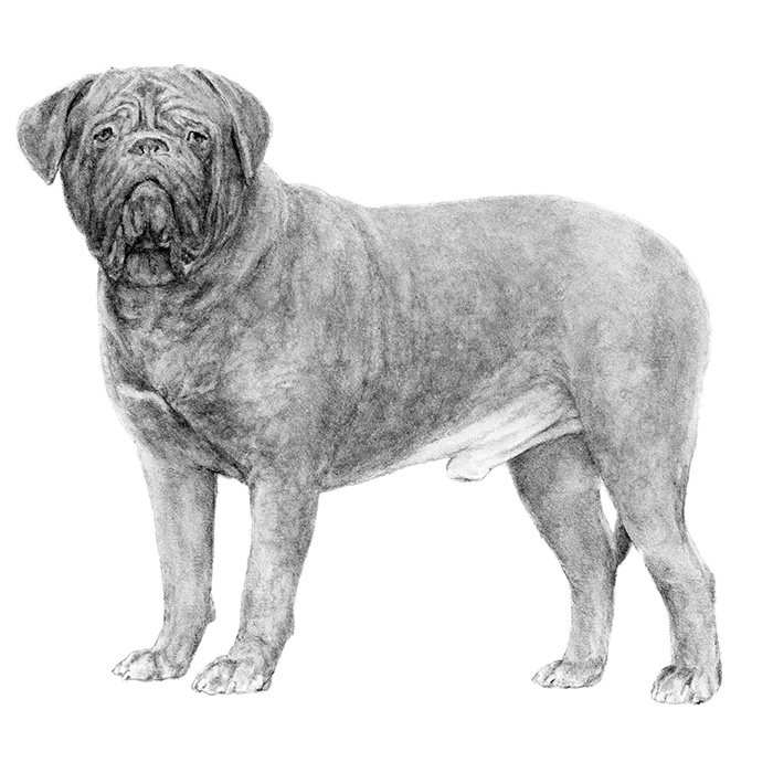 Dogue de Bordeaux Breed Standard Illustration