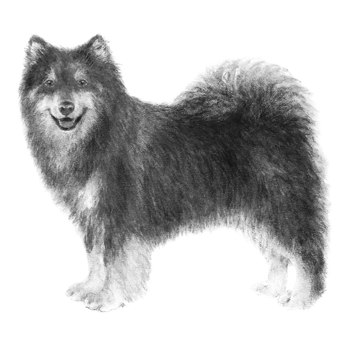 Finnish Lapphund Breed Standard Illustration