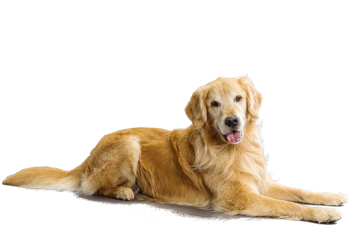 Golden Retriever Hair2014 Blogspot Com