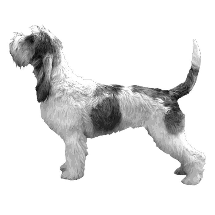 Grand Basset Griffon Vendeen Breed Standard Illustration