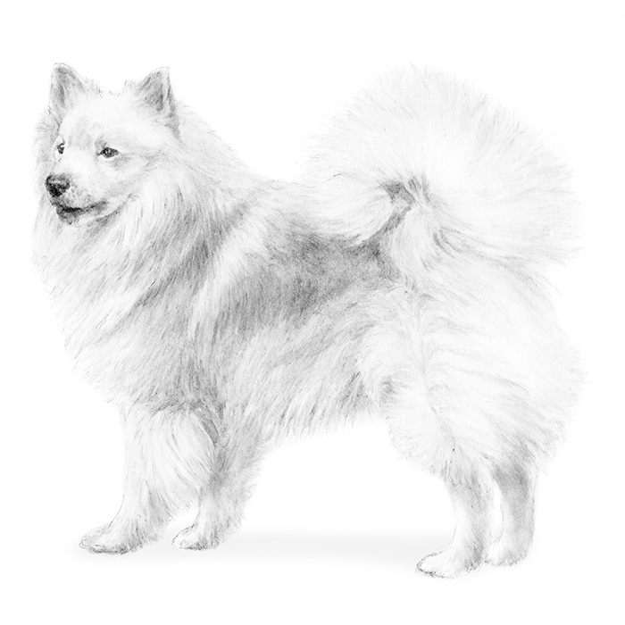 Icelandic Sheepdog Breed Standard Illustration