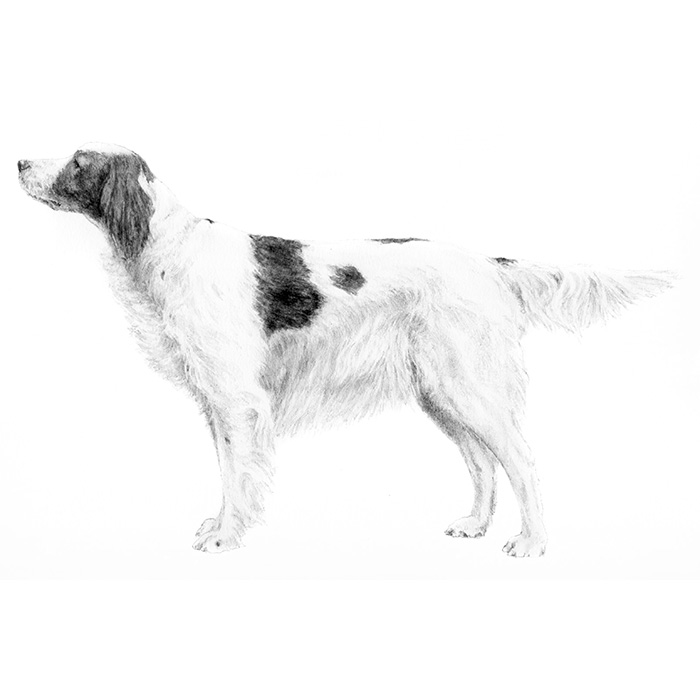 Irish Red and White Setter Breed Standard Illustration