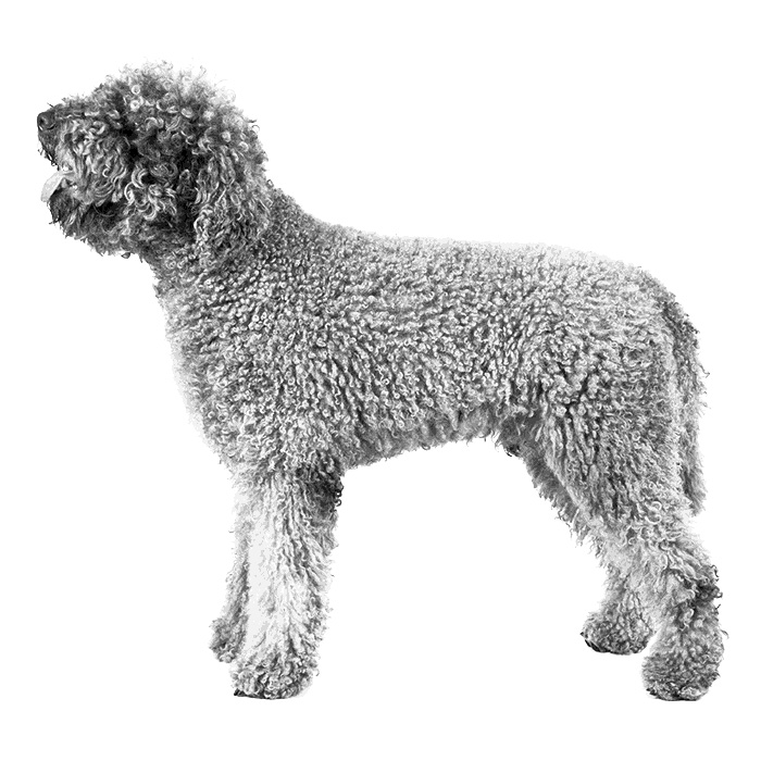 Lagotto Romagnolo Breed Standard Illustration