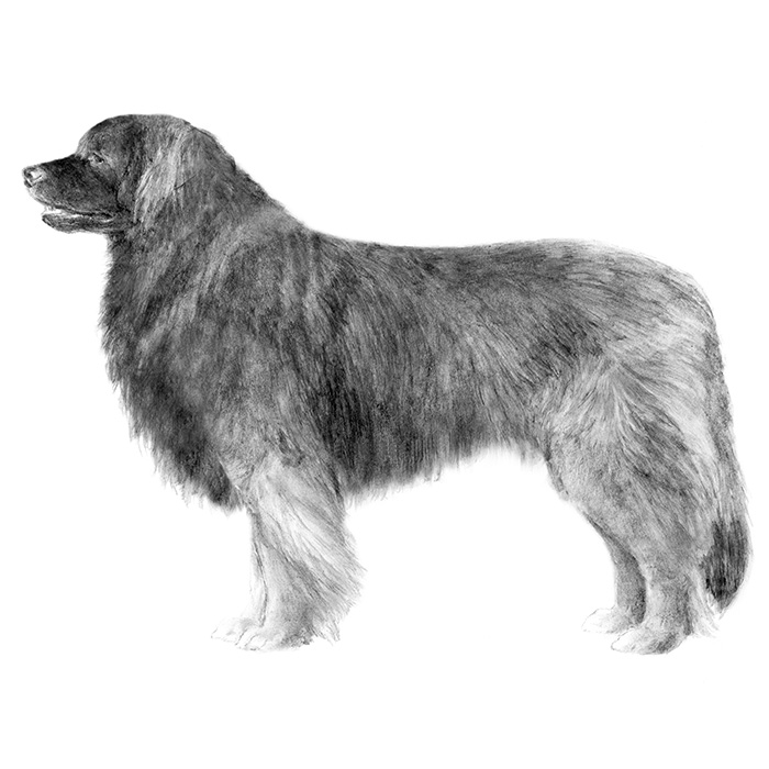 Leonberger Breed Standard Illustration