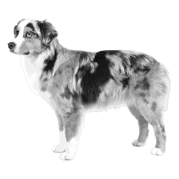 Miniature American Shepherd Breed Standard Illustration