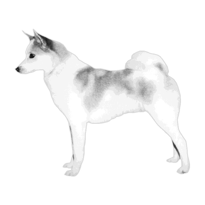 Norrbottenspets Breed Standard Illustration