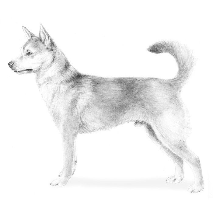 Norwegian Lundehund Breed Standard Illustration