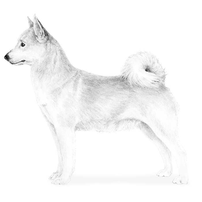 Norwegian Buhund Breed Standard Illustration