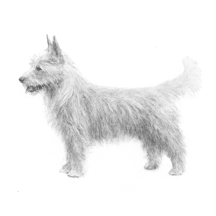 Portuguese Podengo Pequeno Breed Standard Illustration