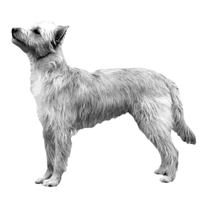Portuguese Podengo Breed Standard Illustration