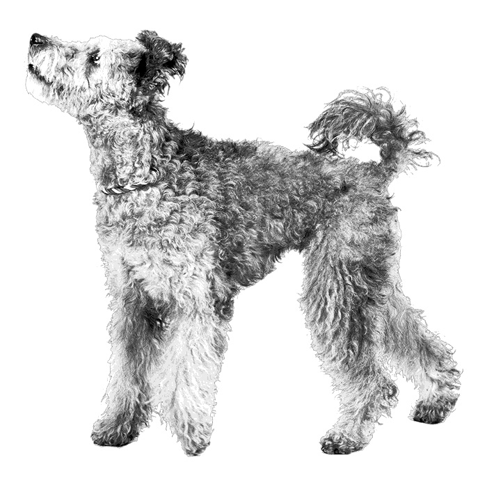 Pumi Breed Standard Illustration