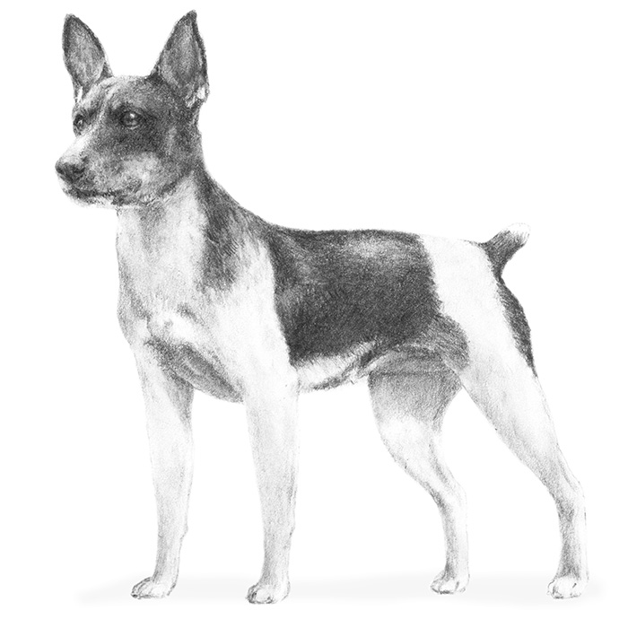 Rat Terrier Breed Standard Illustration