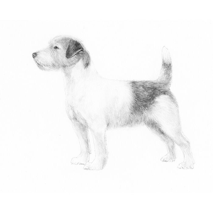 Russell Terrier Breed Standard Illustration