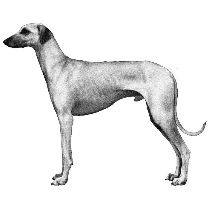 Sloughi Breed Standard Illustration
