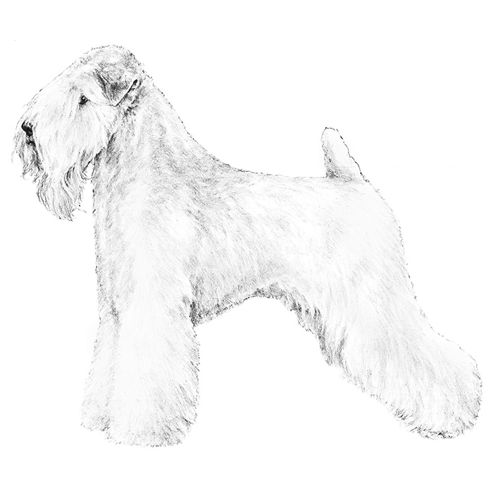 Soft Coated Wheaten Terrier Breed Standard Illustration
