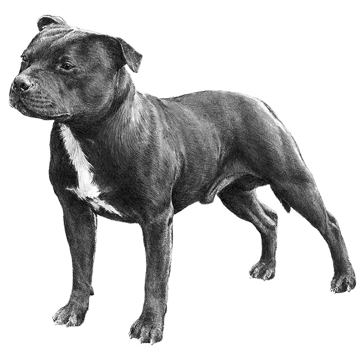 Staffordshire Bull Terrier Breed Standard Illustration