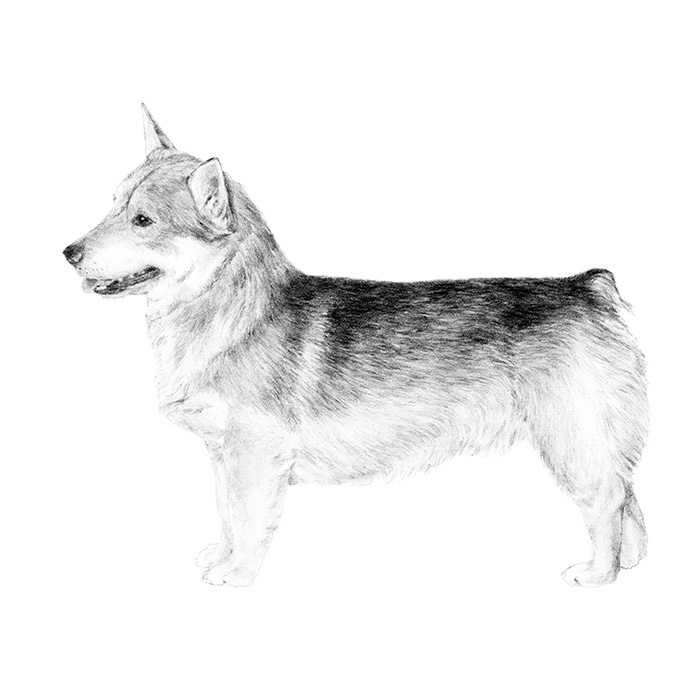 Swedish Vallhund Breed Standard Illustration