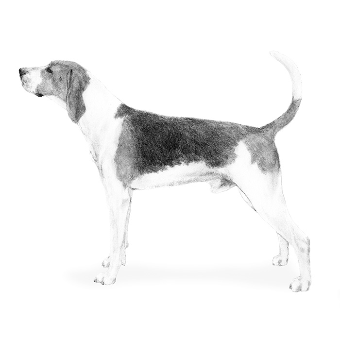 Treeing Walker Coonhound Breed Standard Illustration