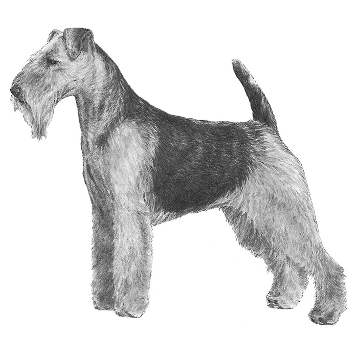 Welsh Terrier Breed Standard Illustration