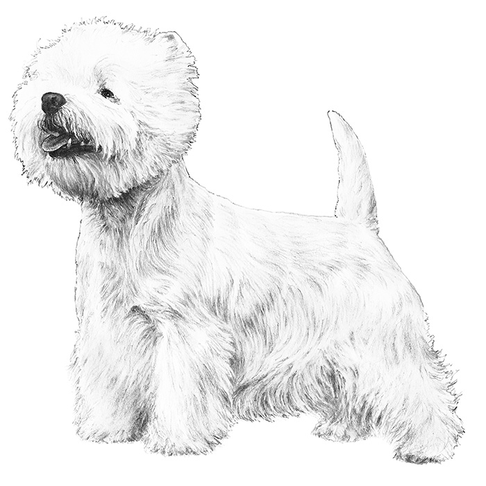 West Highland White Terrier Breed Standard Illustration