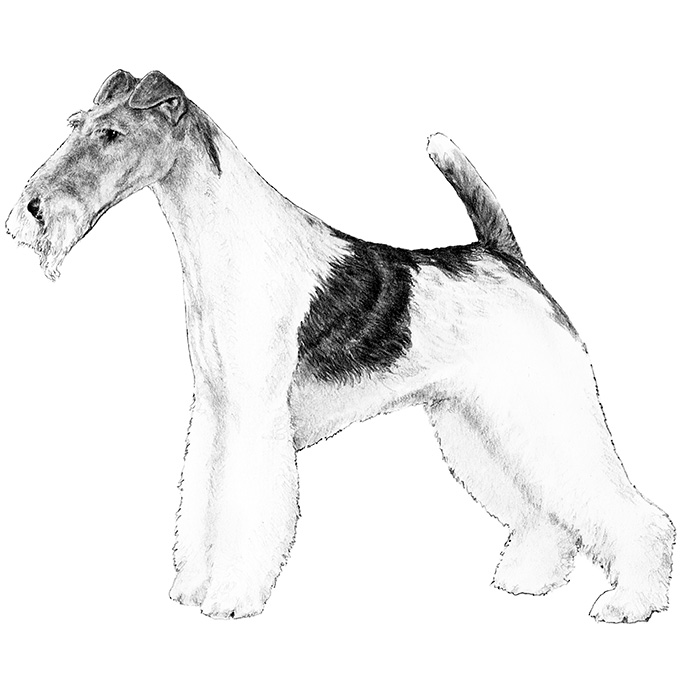 Wire Fox Terrier Breed Standard Illustration
