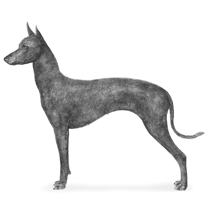 Xoloitzcuintli Breed Standard Illustration