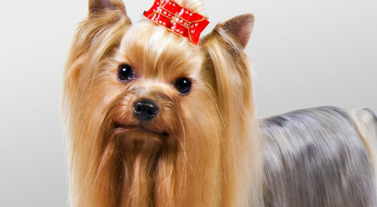 Yorkshire Terrier Hairstyles  dummies
